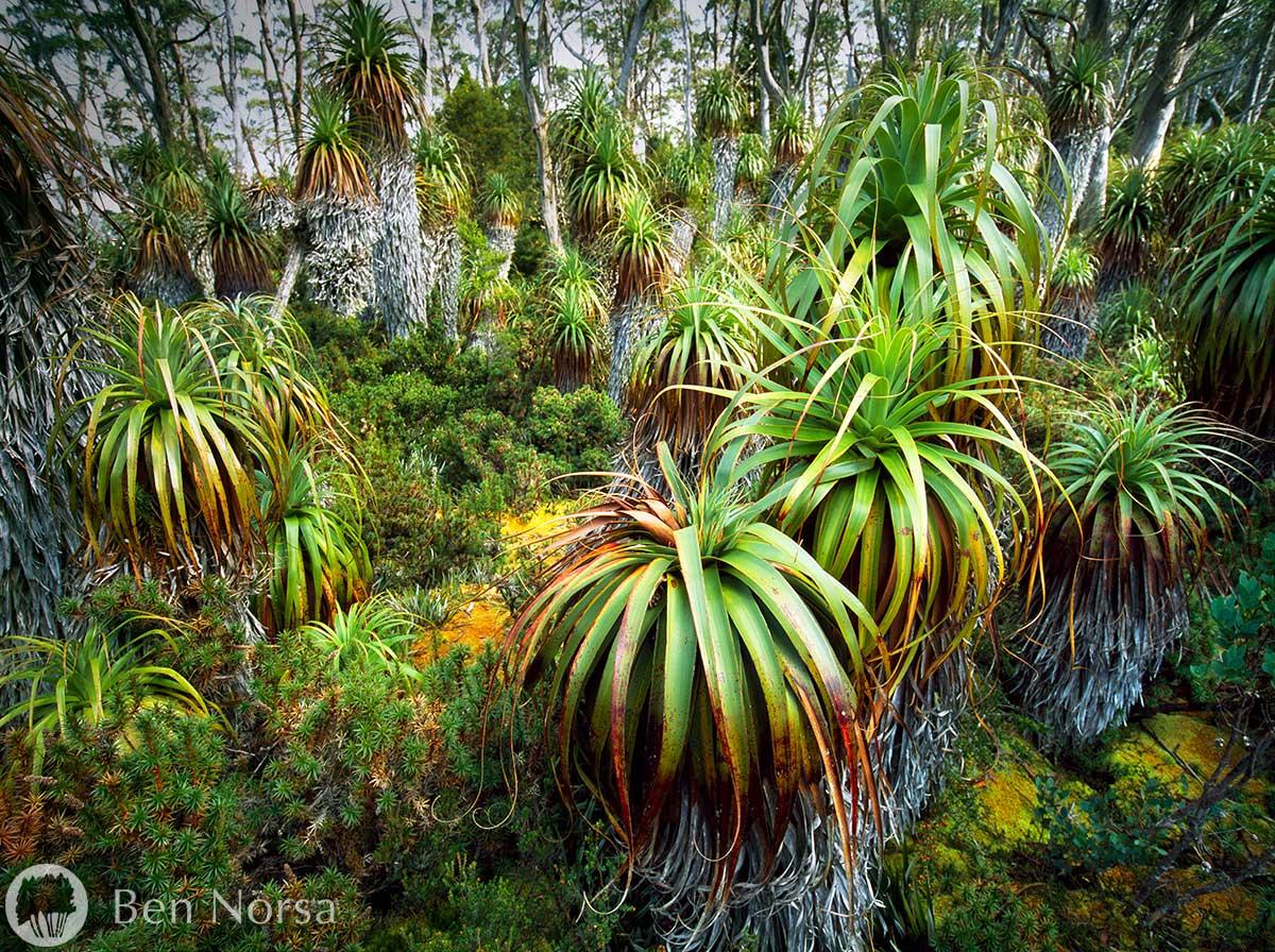 Landscape photographic print of Pandanus Forest, The Acropolis Plateau, Tasmania